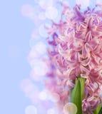 Ρόδινος υάκινθος λουλουδιών Στοκ εικόνα με δικαίωμα ελεύθερης χρήσης