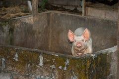 Ρόδινος χοίρος που εξετάζει σας κοντά επάνω πορτρέτο Στοκ Φωτογραφίες