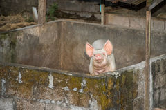 Ρόδινος χοίρος που εξετάζει σας κοντά επάνω πορτρέτο Στοκ Εικόνες