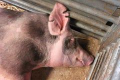 Ρόδινος χοίρος ύπνου Στοκ φωτογραφία με δικαίωμα ελεύθερης χρήσης
