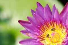Ρόδινος λωτός με τη μέλισσα Στοκ εικόνα με δικαίωμα ελεύθερης χρήσης