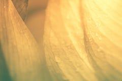 Ρόδινος λωτός Στοκ Φωτογραφία