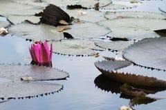 Ρόδινος λωτός Στοκ εικόνα με δικαίωμα ελεύθερης χρήσης