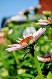 ρόδινος όμορφος λουλουδιών Στοκ Εικόνες