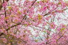Ρόδινος όμορφος της Ταϊλάνδης Sakura Στοκ φωτογραφία με δικαίωμα ελεύθερης χρήσης