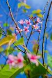 Ρόδινος όμορφος της Ταϊλάνδης Sakura Στοκ εικόνα με δικαίωμα ελεύθερης χρήσης