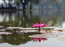 Ρόδινος όμορφος λωτός λουλουδιών Lotus. Στοκ Φωτογραφίες
