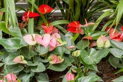 Ρόδινος Anthurium κρίνος Στοκ εικόνες με δικαίωμα ελεύθερης χρήσης