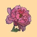ρόδινος peony, απεικόνιση Στοκ Εικόνες