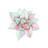 Ρόδινος succulent Watercolor Τοπ όψη εξωτικό λουλούδι Στοκ Φωτογραφίες