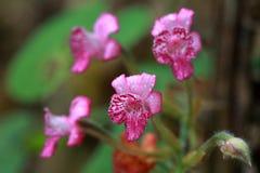 Ρόδινο άγριο λουλούδι μετά από βροχερό Στοκ εικόνα με δικαίωμα ελεύθερης χρήσης