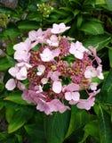 Ρόδινο άνθισμα Hydrangea Στοκ φωτογραφία με δικαίωμα ελεύθερης χρήσης