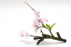 Ρόδινο άνθος κερασιών, λουλούδια sakura Στοκ Φωτογραφίες