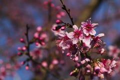Ρόδινο άνθος κερασιών Στοκ Φωτογραφίες