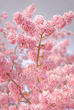 Ρόδινο άνθος κερασιών Στοκ εικόνες με δικαίωμα ελεύθερης χρήσης