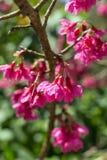 Ρόδινο άνθος κερασιών sakura Στοκ φωτογραφίες με δικαίωμα ελεύθερης χρήσης
