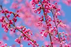 Ρόδινο άνθος κερασιών sakura Στοκ Εικόνα