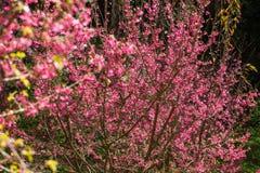 Ρόδινο άνθος κερασιών sakura Στοκ Εικόνες