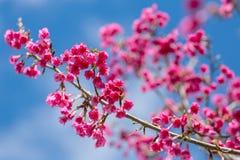 Ρόδινο άνθος κερασιών sakura Στοκ εικόνες με δικαίωμα ελεύθερης χρήσης