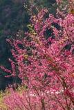 Ρόδινο άνθος κερασιών sakura Στοκ εικόνα με δικαίωμα ελεύθερης χρήσης