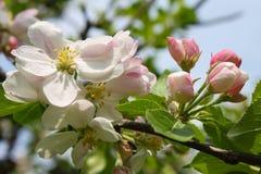 Ρόδινο άνθος μήλων Στοκ εικόνα με δικαίωμα ελεύθερης χρήσης