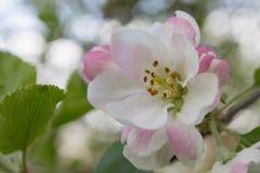 Ρόδινο άνθος μήλων Στοκ φωτογραφίες με δικαίωμα ελεύθερης χρήσης
