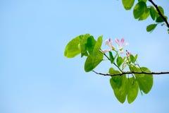 Ρόδινο άνθος λουλουδιών δέντρων ορχιδεών ντους Στοκ εικόνα με δικαίωμα ελεύθερης χρήσης