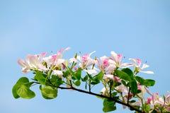 Ρόδινο άνθος λουλουδιών δέντρων ορχιδεών ντους Στοκ Εικόνες