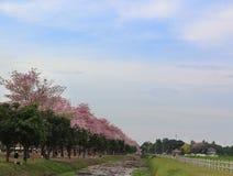 Ρόδινο άνθος λουλουδιών δέντρων σαλπίγγων Στοκ Φωτογραφία