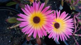 Ρόδινο άνθος λουλουδιών Στοκ φωτογραφία με δικαίωμα ελεύθερης χρήσης