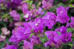 Ρόδινο άνθος λουλουδιών Bougainvillea στην Ασία Στοκ Εικόνα