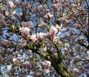 Ρόδινο άνθος σε ένα δέντρο ενάντια σε έναν μπλε ουρανό Στοκ Εικόνα