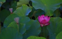 Ρόδινο άνθος Lotus το πρωί Στοκ φωτογραφίες με δικαίωμα ελεύθερης χρήσης