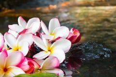 Ρόδινο άσπρο και κίτρινο plumeria ή frangipani λουλουδιών στο νερό και Στοκ φωτογραφία με δικαίωμα ελεύθερης χρήσης