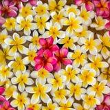 Ρόδινο άσπρο και κίτρινο plumeria ή frangipani λουλουδιών Στοκ Εικόνα