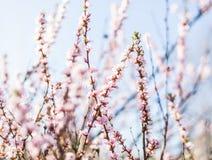 ρόδινο δέντρο άνοιξης εποχής φύσης λουλουδιών έννοιας Στοκ Εικόνα
