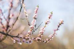 ρόδινο δέντρο άνοιξης εποχής φύσης λουλουδιών έννοιας Στοκ Φωτογραφία