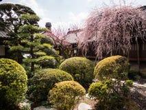 Ρόδινο δέντρο δαμάσκηνων που ανθίζει στον παραδοσιακό ιαπωνικό κήπο Στοκ Φωτογραφία
