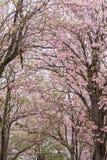 Ρόδινο δέντρο λουλουδιών που ανθίζει δέντρο θερινών στο ρόδινο σαλπίγγων στοκ εικόνες