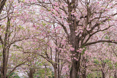Ρόδινο δέντρο λουλουδιών που ανθίζει, ρόδινο δέντρο σαλπίγγων στοκ εικόνα