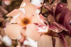 Ρόδινο δέντρο λουλουδιών agnolia Στοκ εικόνες με δικαίωμα ελεύθερης χρήσης