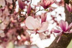 Ρόδινο δέντρο λουλουδιών agnolia Στοκ Φωτογραφία
