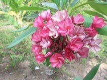 Ρόδινο δέντρο λουλουδιών plumeria Στοκ εικόνες με δικαίωμα ελεύθερης χρήσης