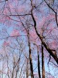 ρόδινο δέντρο λουλουδι Στοκ φωτογραφίες με δικαίωμα ελεύθερης χρήσης