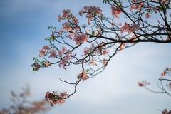 Ρόδινο δέντρο σαλπίγγων ή rosea Tabebuia στοκ εικόνες