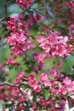 Ρόδινο δέντρο της Apple ανθών λουλουδιών που απομονώνεται στο πράσινο υπόβαθρο φύσης Στοκ Εικόνες