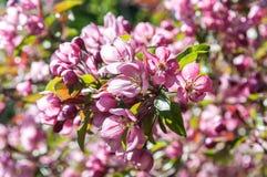 Ρόδινο δέντρο της Apple λουλουδιών Στοκ Φωτογραφίες