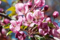 Ρόδινο δέντρο της Apple λουλουδιών Στοκ φωτογραφία με δικαίωμα ελεύθερης χρήσης