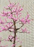 Ρόδινο δέντρο Sakura κοντά στο τουβλότοιχο Στοκ εικόνα με δικαίωμα ελεύθερης χρήσης