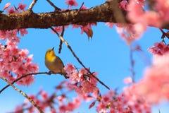 Ρόδινο δέντρο sakura Στοκ φωτογραφίες με δικαίωμα ελεύθερης χρήσης